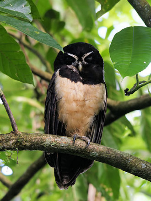 Spectacled Owl