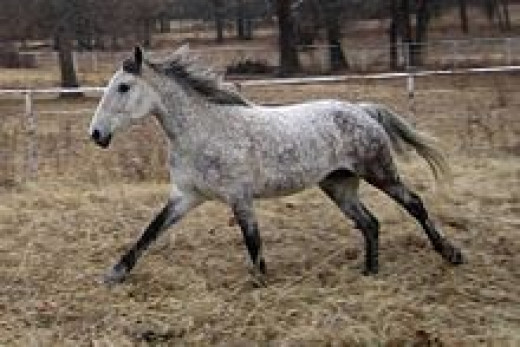 Bashir Horse sometimes called Curly horse