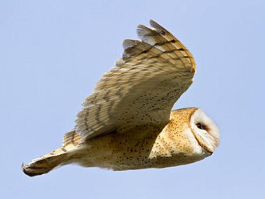 White Breasted Barn Owl
