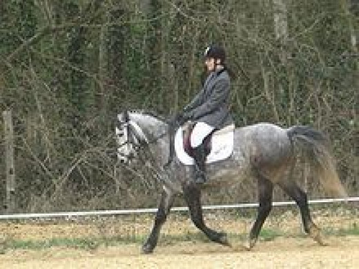 French Saddle Pony in dressage