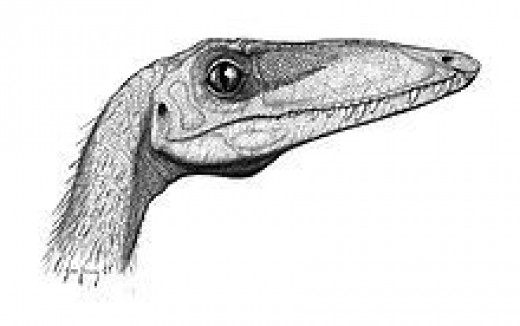 Coelophysis head      source: Wikipedia