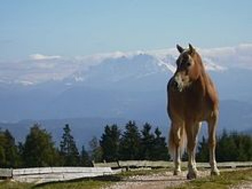 Haflinger      source: Wikipedia