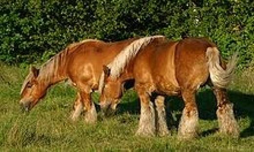 Jutland Horse       source: Wikipedia