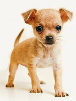 Chihuahua - I couldn't possibly leave out this cute little fellow.