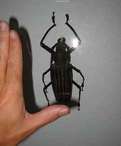 Giant Longhorn Beetle                      source: Wikipedia