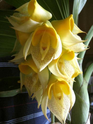 Catesetum Orchid