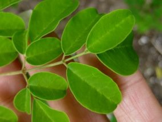 Closeup of our Moringa Oleifera leaves. Ignore my fingers in the background - I wanted you to have a size comparison.