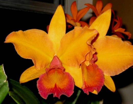 """Our """"Caution Orchids"""". Their appearance on the sink, is a sure sign of trouble. Ever watchful, always awake and alert, they signal us to look for trouble; could be a recalcitrant orchid, could be aphids, could be just because they heard a """"scary nois"""