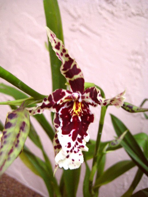 This huge orchid isn't really from Borneo - he just looks like he should be in the jungle!