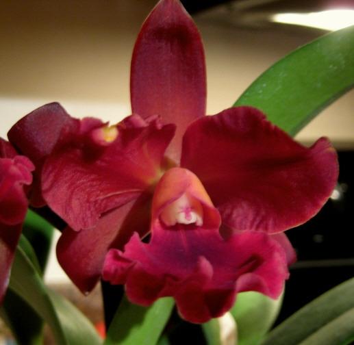 Sophistication, elegance, velvet-to-the-touch - always enjoy seeing it bloom.