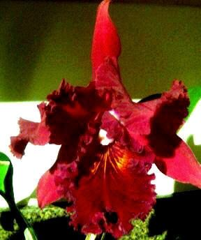 Photo just does NOT do this huge, frilly Orchid justice!