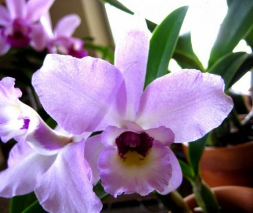 The little lavender lassie - she's shy - hiding deep inside the Orchid!