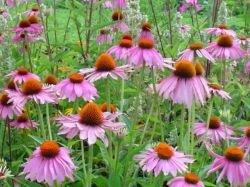 ecinacea plant