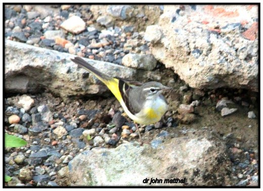 Gray Wagtail Winter Visitor