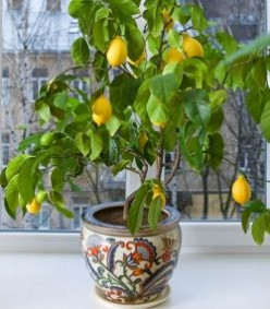 Indoor Lemon Trees