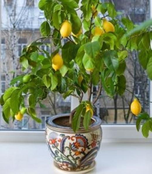 indoor lemon trees hubpages. Black Bedroom Furniture Sets. Home Design Ideas