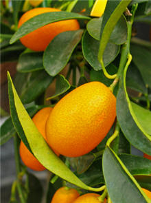 Indoor Kumquat Tree