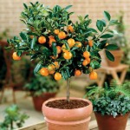 Dwarf Orange Tree
