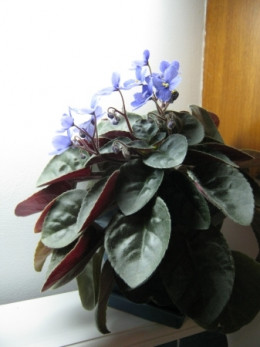 African Violets are my favorite house plant. I have twelve of them. Most of which are well over ten years old. I have a bit of a green thumb when it comes to them.