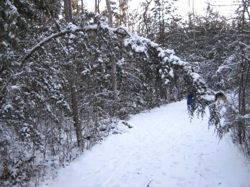 Tree bent over path from weight of freezing rain and snow.