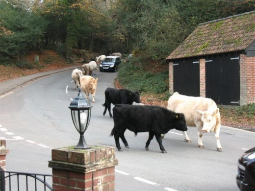 Cows wander through the village of Burley daily.