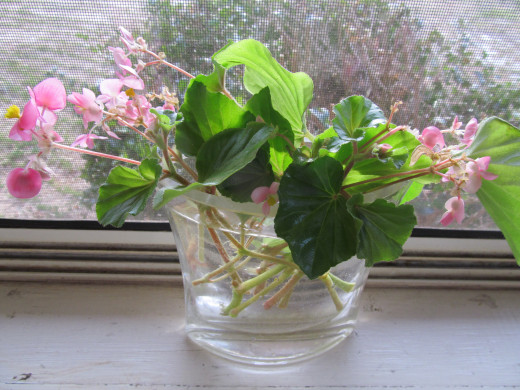 Rooting my begonia so I can share it with friends.  Do you have a Friendship Plant that you share?