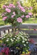 Patio Tree Rose in all its Glory!