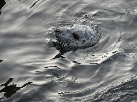A harbor seal by the dock.