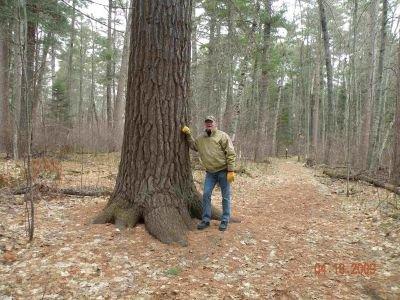 Minnesota's Champion Red Pine