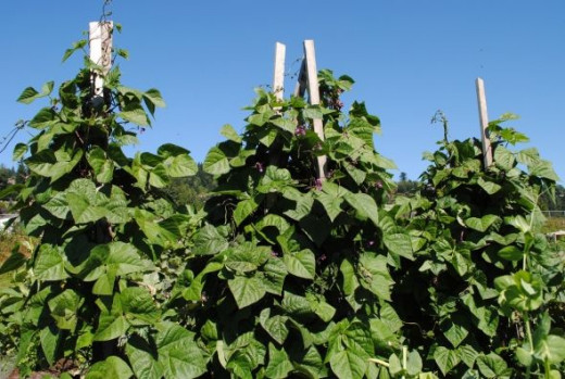 Prolific pole beans reach to the sky