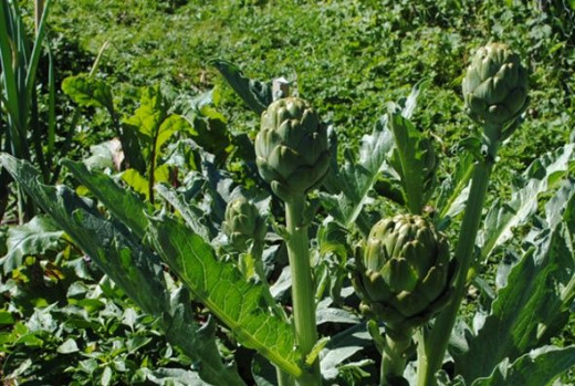 Artichokes are not only fascinating, but delicious
