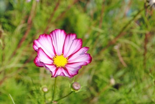 A beautiful cosmos flower - delightful
