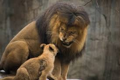 Lions and Lion cubs can be found inside the beautiful Oregon Zoo located in the heart of Portland.