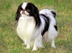 The Japanese Chin or Japanese Spaniel Dog Breed Facts