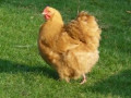 The Best 10 Dual-Purpose Chicken Breeds For Eggs And Meat