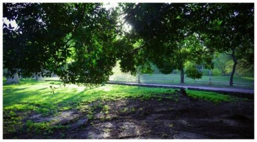 JARA BLANCA: Cistus albidus   Plants rioMoros