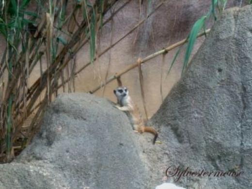 Meerkats in the Memphis Zoo