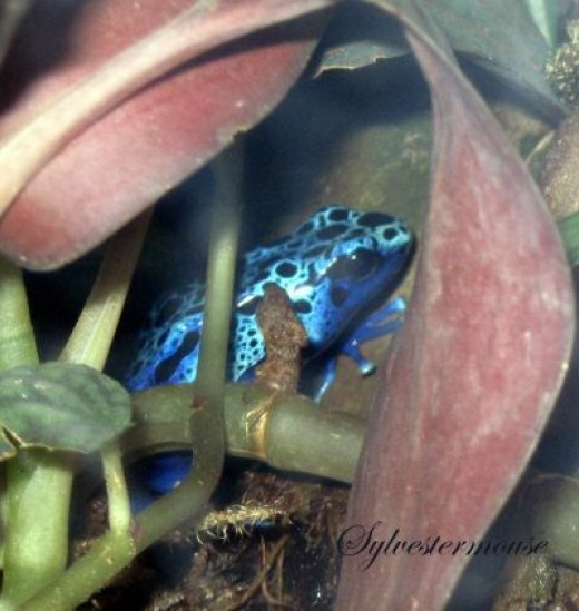 Poison Dart Frog at the Memphis Zoo