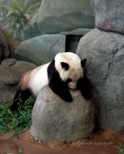 Panda at the Memphis Zoo