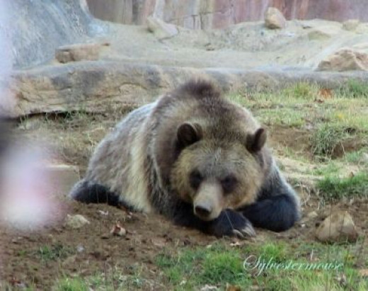Grizzly Bear at the Memphis Zoo