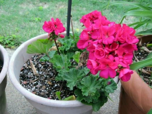 Geranium ~ Blooms in spring, summer and fall ~ plant in full sun Note:  A geranium requires it's own pot :)