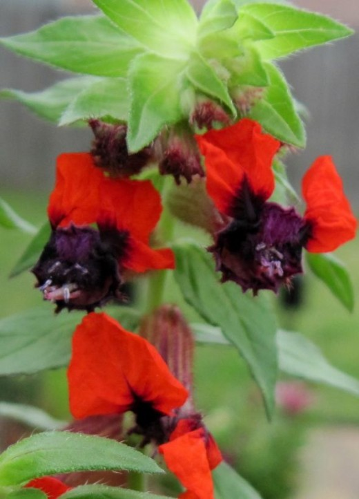 """The Bat Plant ~ Cuphea llavea is a perennial flower that blooms from spring till fall.  It is known for drawing hummingbirds. ~  Plant in part or full sun.I bet you can """"see"""" why it is called a Bat Plant :)  This is an exclusive photo that was ta"""