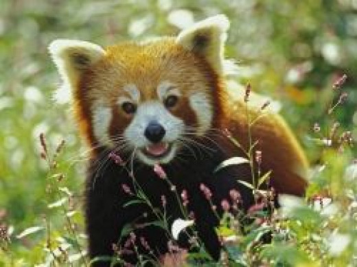 Red Panda Print Available for Purchase