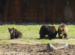 Baby Grizzly Bear ~ Teton Trek at the Memphis Zoo