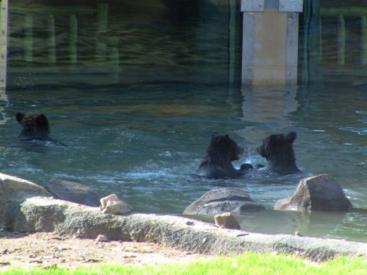 Grizzly Bear Swimming Party Photo by Sylvestermouse