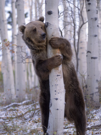 Grizzly Bear Grabbing Tree, North America Photographic PrintWiley/wales, Amy...