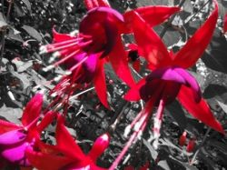 red fuchsia with a black and white background