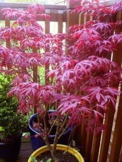 red japanese acer