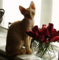 Devon Rex - The Hypoallergenic Cat