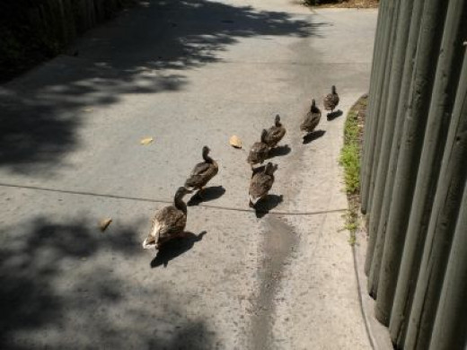 A Family Of Ducks Making Their Way To The Pond